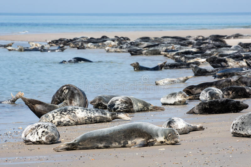 Grey seals resting at the beach of German island Helgoland royalty free stock photos