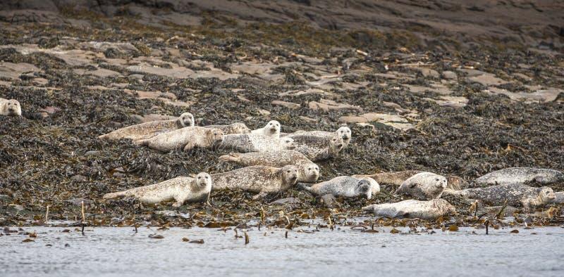 Grey Seals sull'isola di Staffin fuori da Skye immagini stock