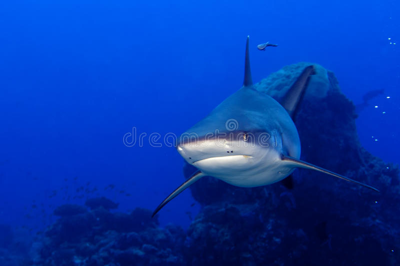 A grey shark jaws ready to attack underwater close up portrait royalty free stock images