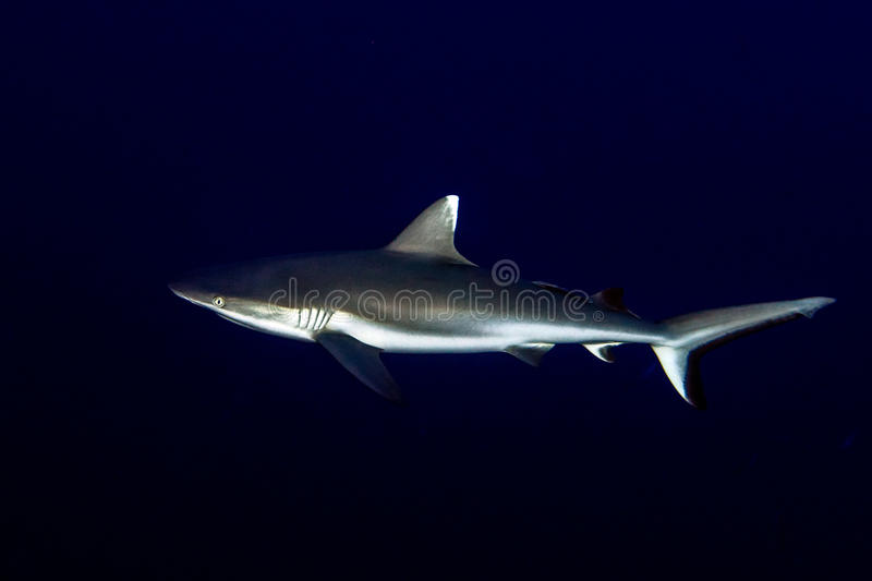 Grey shark ready to attack underwater in the blue stock photography