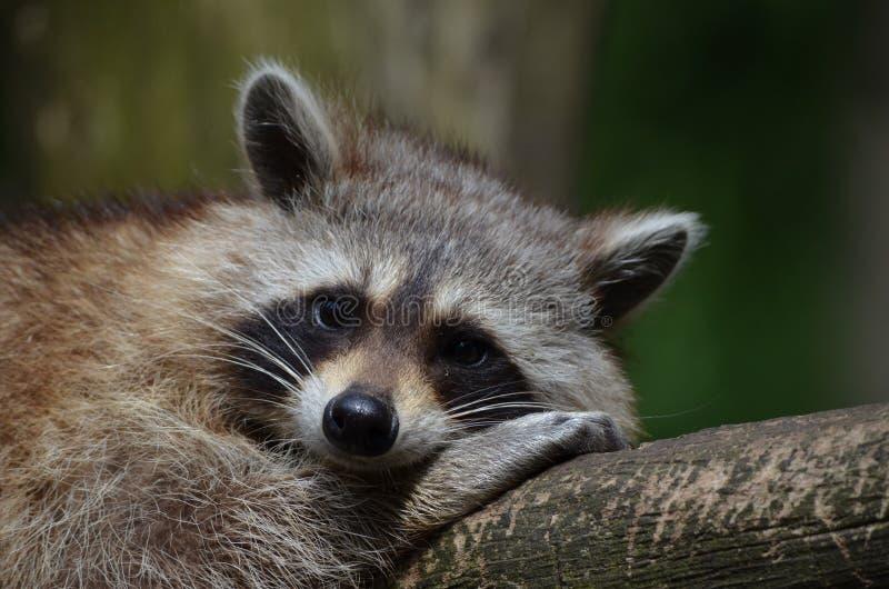 Grey Short Coat Animal Laying On Grey Wooden Panel Free Public Domain Cc0 Image