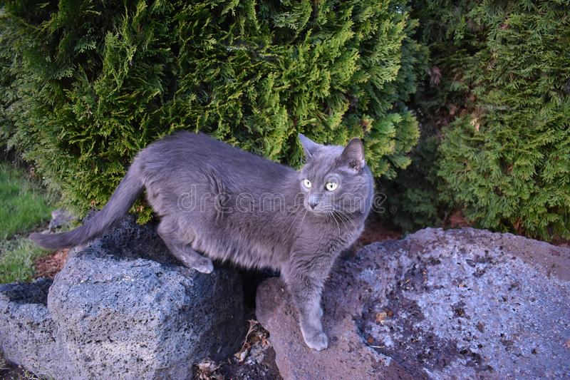 Grey Cat Standing on Rocks. This is a grey short-hair domestic cat standing on purse rocks in front of Emerald Arborvitaes. She is enjoying the shade on a hot royalty free stock image