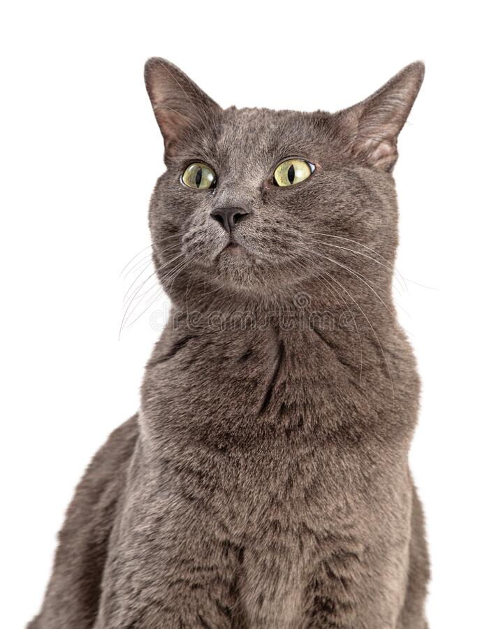 Grey Shorthair Cat View Side Cloings royalty-vrije stock foto