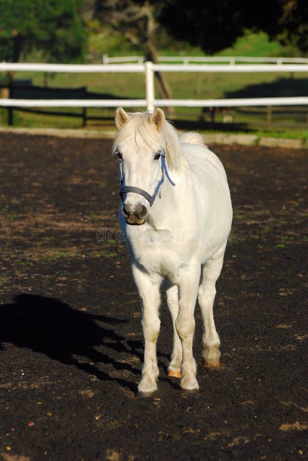 Download Grey show pony stock image. Image of herbivorous, herbivores - 33124439