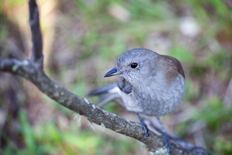 Grey Shrike Thrush - oiseau simple sur une branche photographie stock