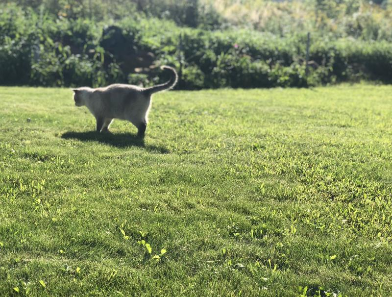 Grey Siamese-kattenjachten op een groen gazon op een Zonnige de zomerdag stock foto