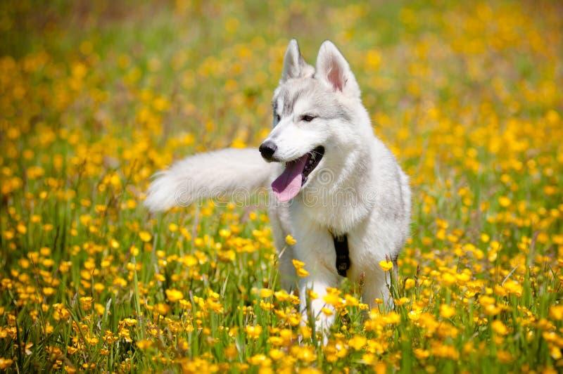 Grey siberian husky portrait stock photos