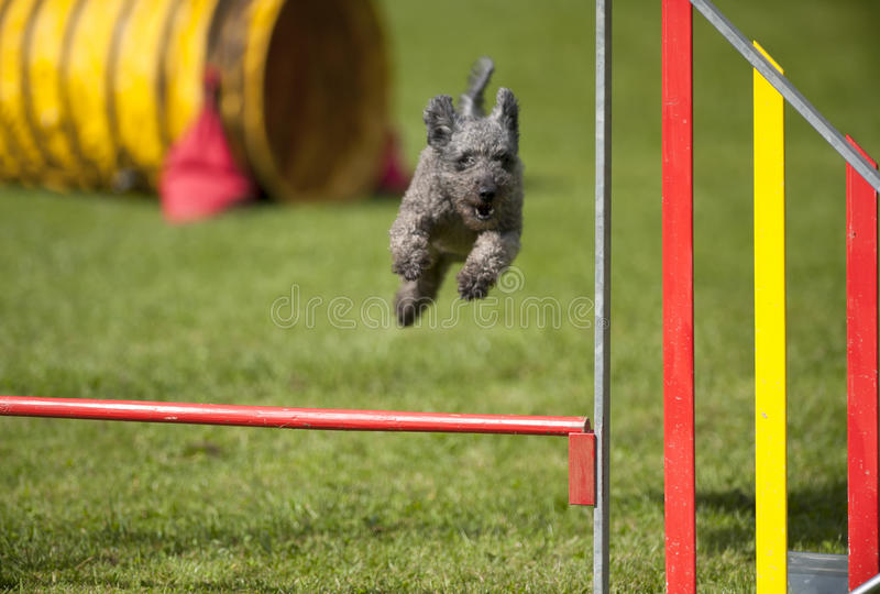 Grey small dog Pumi jumping over obstacle on agility course. Grey small dog jumping over obstacle on agility course. Purebred Pumi stock photography