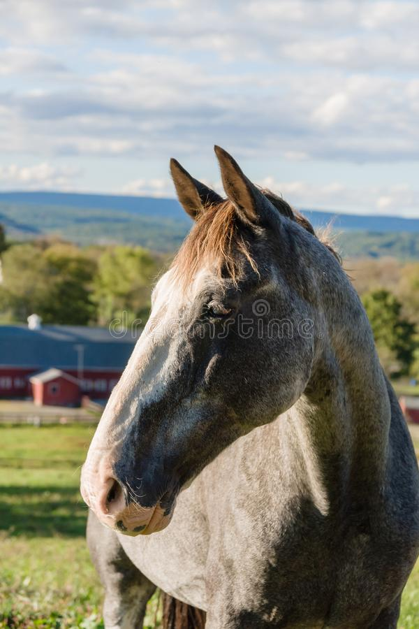Grey Speckled Horse photo stock