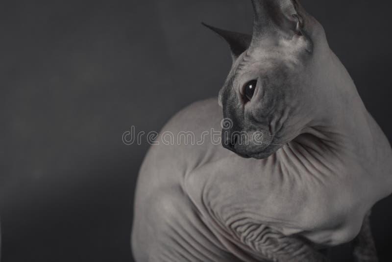 Grey Sphynx Cat foto de stock royalty free