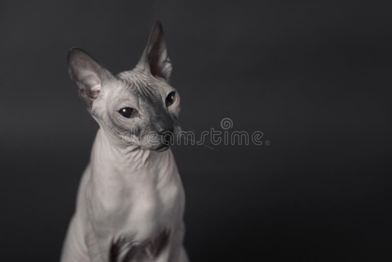 Grey Sphynx Cat imagens de stock