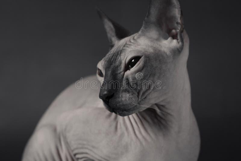 Grey Sphynx Cat arkivfoto