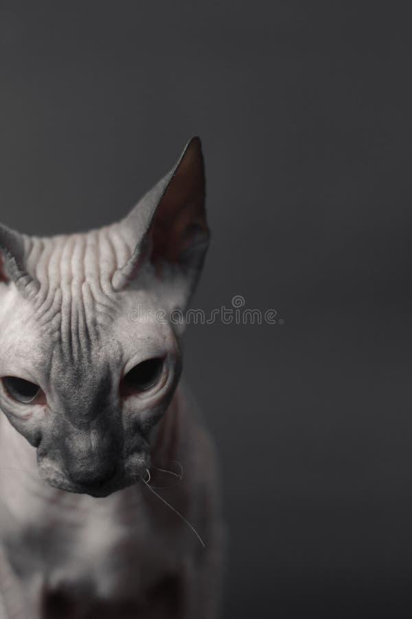 Grey Sphynx Cat arkivbild