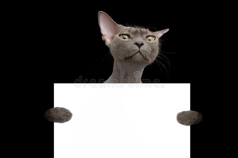 Grey Sphynx Cat on isolated black background royalty free stock image