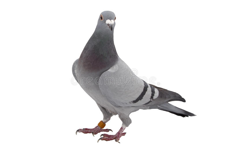 Grey sport pigeon isolated on white. Background stock photography