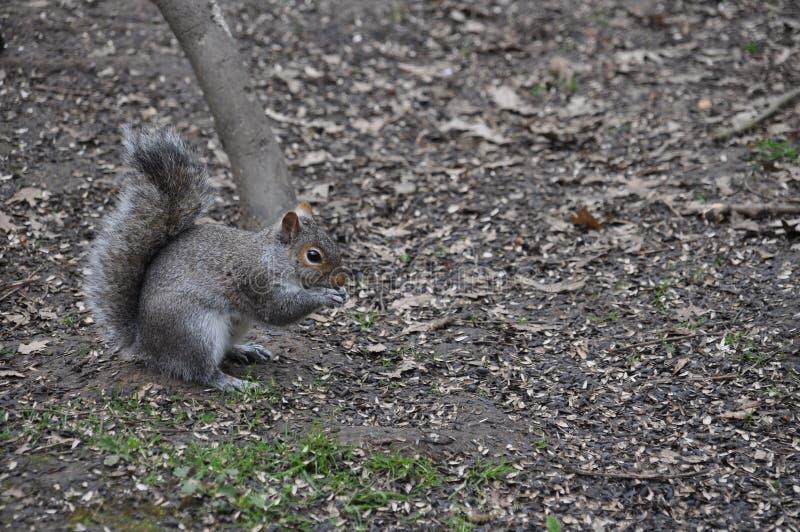 Download Grey squirrel stock photo. Image of sciurus, feeding - 11626826