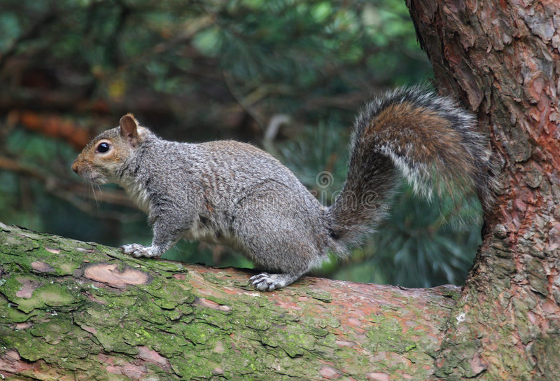Download Grey Squirrel stock image. Image of conifer, rodent, furry - 158123