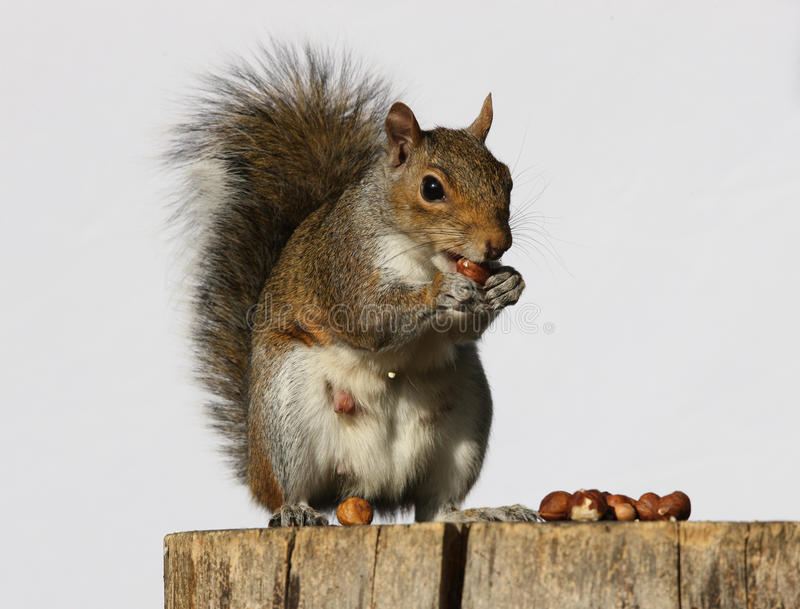 Download Grey Squirrel stock photo. Image of stare, animal, outdoors - 26756638