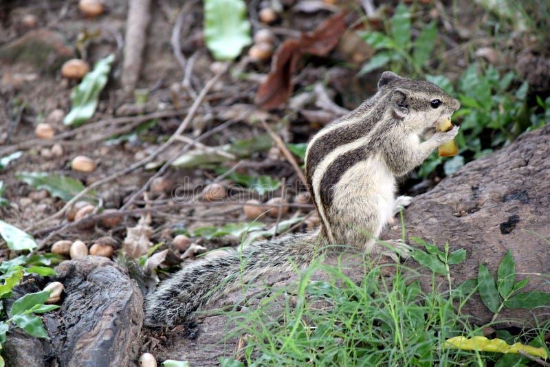 Grey Squirrel Stockfoto