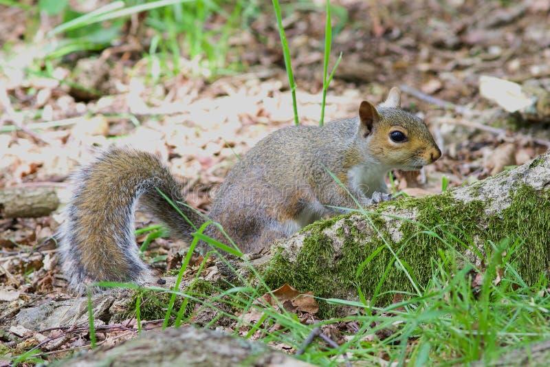 Grey Squirrel alla base di un albero immagine stock