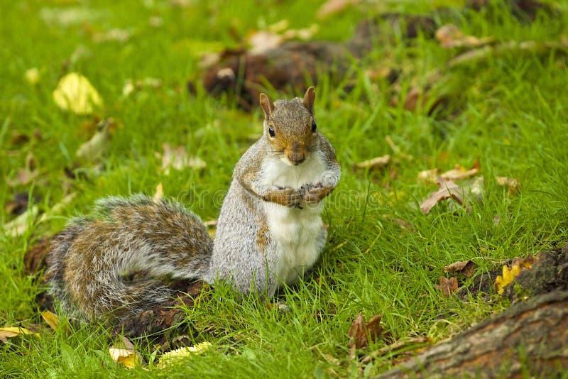Grey Squirrel in autumn. Grey squirrel in the park in autumn, London stock photo