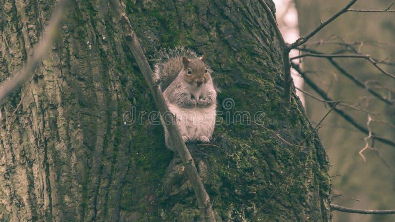 Grey Squirrel in Autumn Park P lizenzfreies stockbild