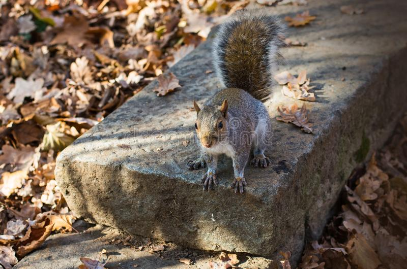 Grey squirrel among autumnal leaves. royalty free stock images