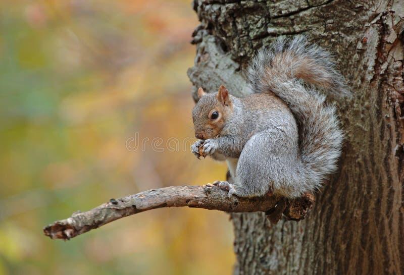 Grey Squirrel, Central Park, Nueva York foto de archivo libre de regalías