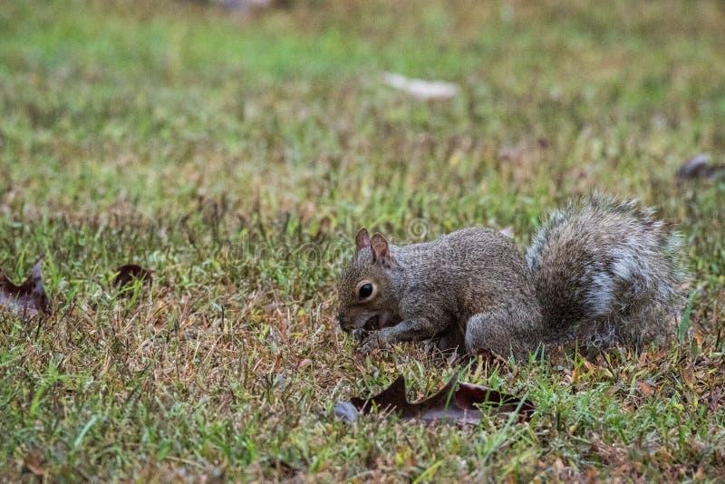 Grey Squirrel che tiene una ghianda, Marietta, Georgia, U.S.A. fotografia stock libera da diritti