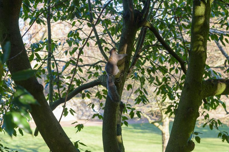 Grey Squirrel climbing up stock image