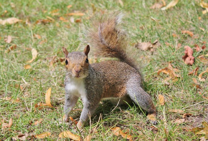 Squirrel grey close up on grass with bushy tail. Squirrel with a glossy fur coat and bushy tail close up on grass grey gray with autumn leaves on the ground stock images