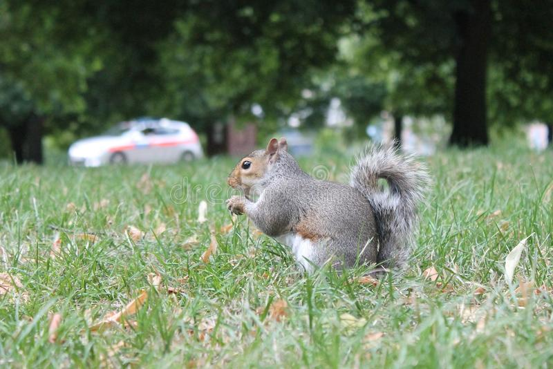 Grey squirrel close up on grass with bushy tail with a police car behind. Grey squirrel with a glossy fur coat and bushy tail close up on grass with autumn royalty free stock images