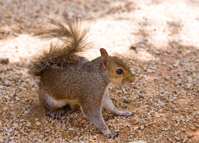 Grey Squirrel Closeup Stock Photos