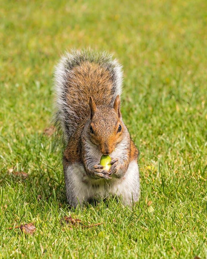 Grey Squirrel die een eikel, Worcestershire, Engeland eten royalty-vrije stock afbeeldingen