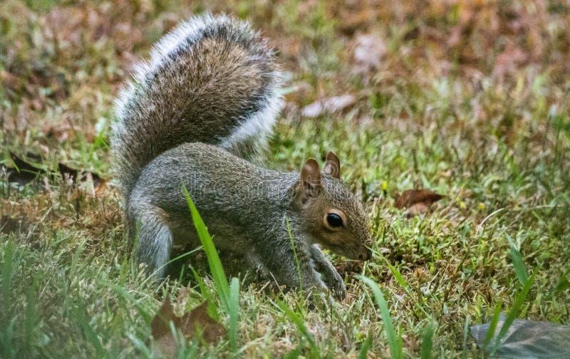 A Grey Squirrel digging for acorns, Marietta, Georgia, USA. A small grey squirrel sitting and digging for acorns, Marietta, Georgia, USA royalty free stock photography