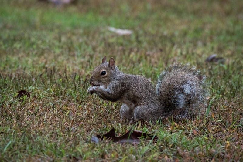 A Grey Squirrel eating an acorn, Marietta, Georgia, USA. A small grey squirrel sitting and eating an acorn, Marietta, Georgia, USA royalty free stock photography