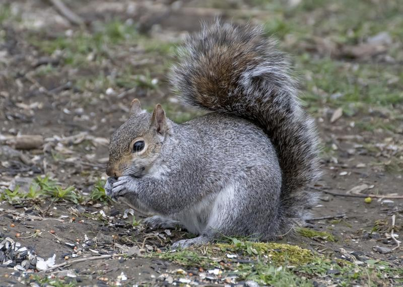 Grey squirrel eating on the ground stock photo