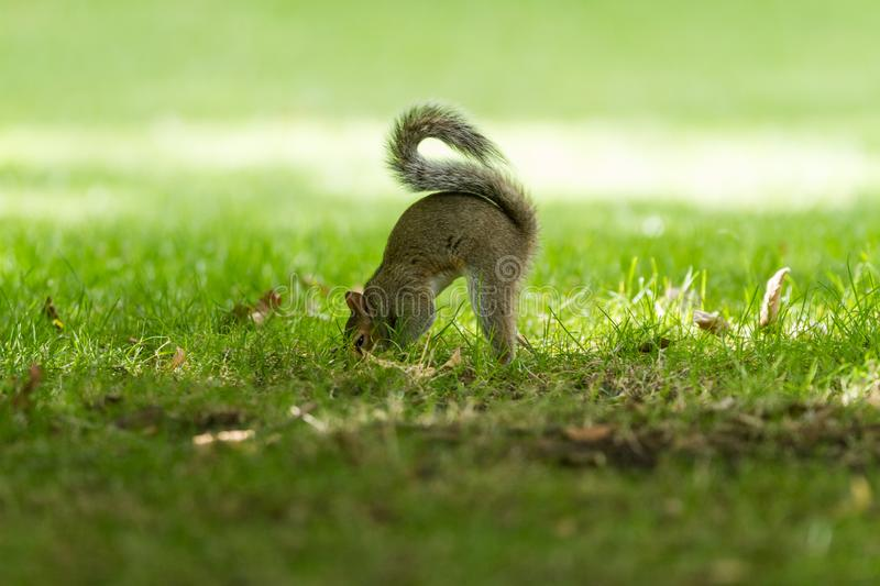 Grey Squirrel eating in the meadow. England. Very close stock image