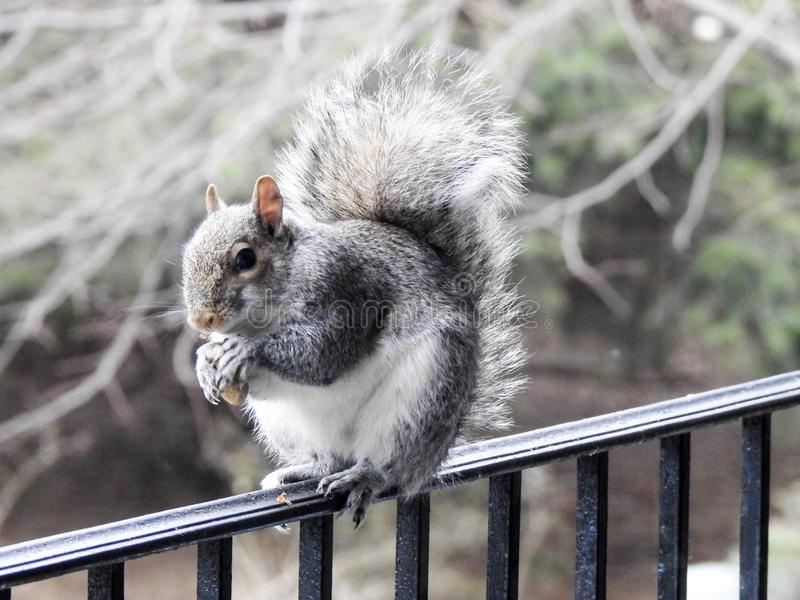 Closeup of Grey Squirrel Eating a Nut Balancing on a Deck Rail stock photo