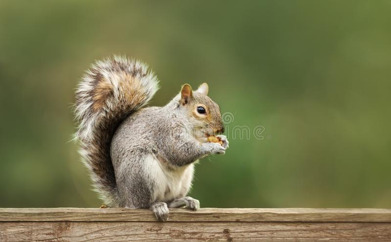 Grey squirrel eating nuts on a wooden fence stock image