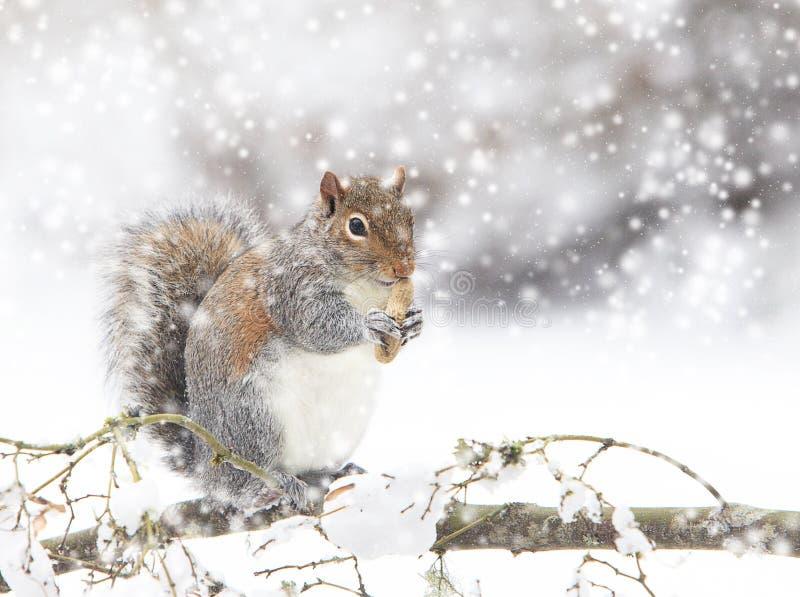 Grey Squirrel Eating Peanut en nevada imagenes de archivo