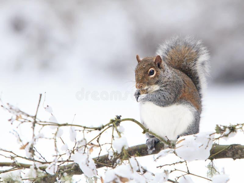 Grey Squirrel Eating Peanut gordo en la rama Nevado