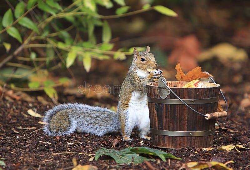 Grey Squirrel Eating Peanut vom hölzernen Eimer stockfotos