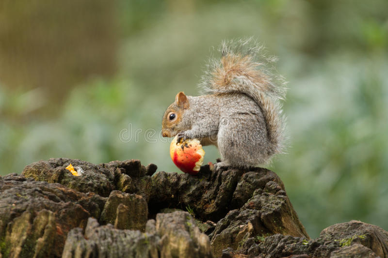 Grey squirrel eating a red apple with bushy tail stock photo