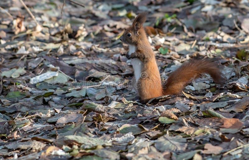 Grey Squirrel en tiempo del otoño en el parque fotos de archivo