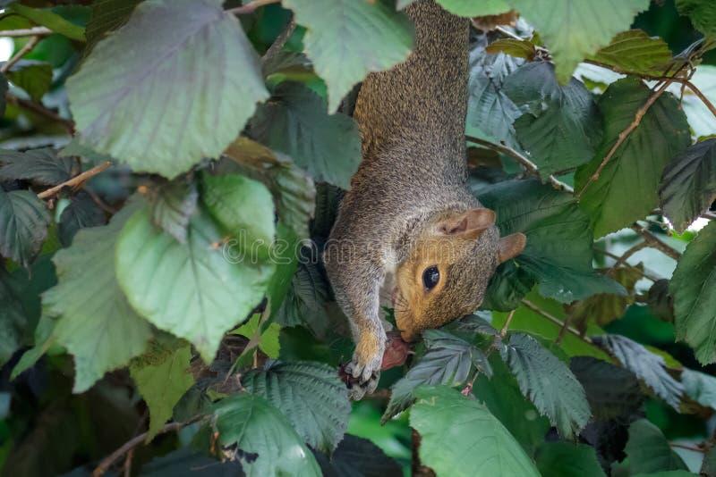 Grey Squirrel fêmea (carolinensis do Sciurus) que pendura upside-down Alimentação em avelã imagem de stock royalty free