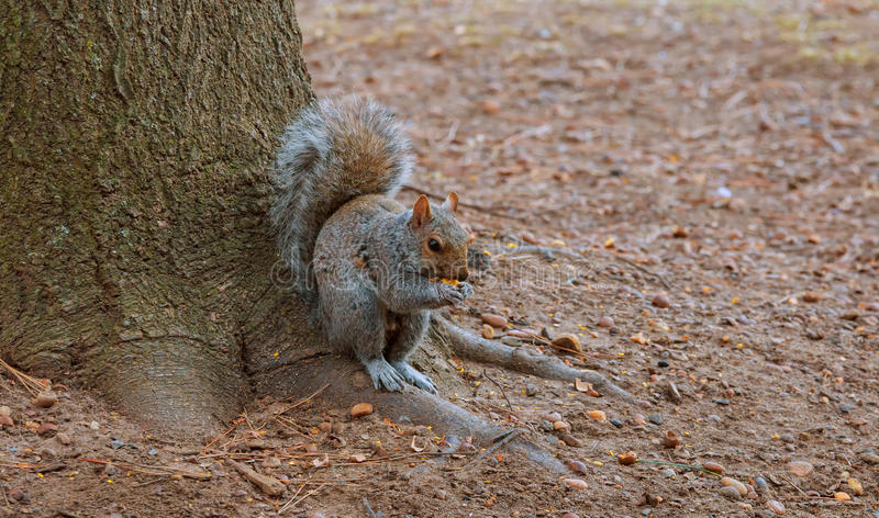 Grey Squirrel feeding on Chestnuts in Autumn royalty free stock photography