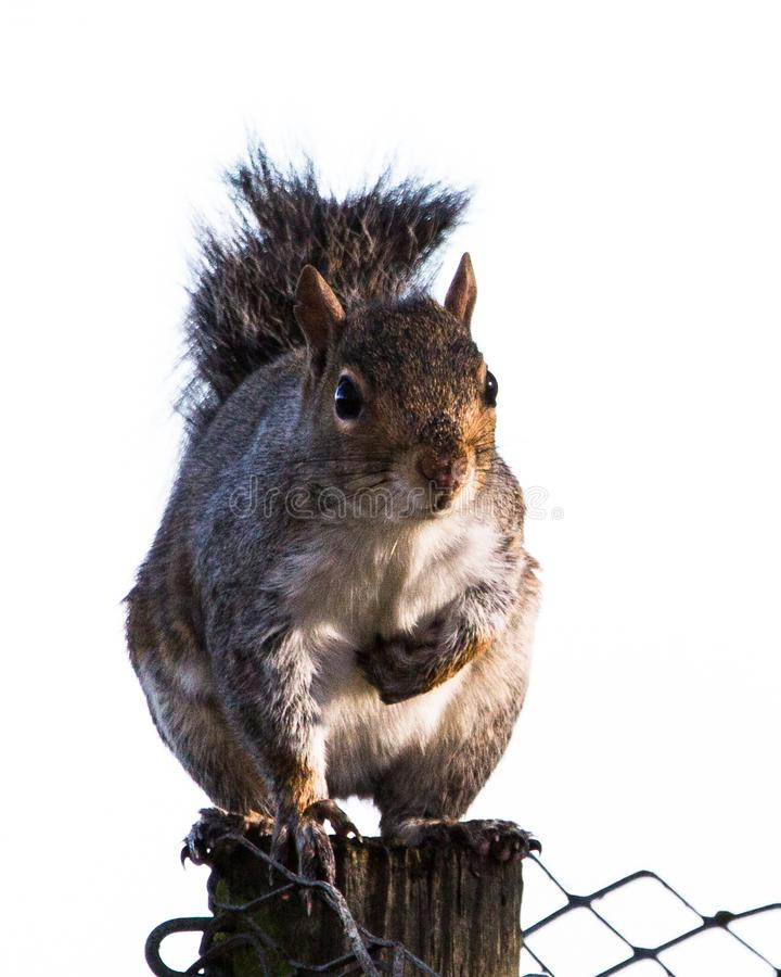Grey squirrel on a fencepost stock image