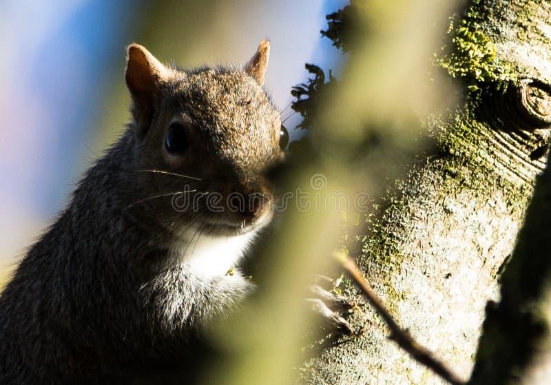 Grey squirrel on a fencepost stock photos
