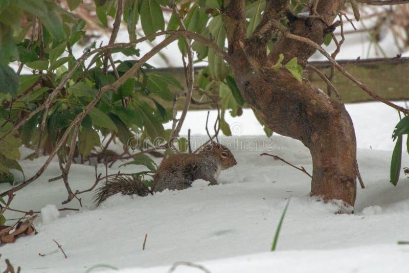 Grey Squirrel Foraging nella neve di inverno immagini stock libere da diritti